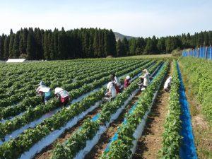 民泊、2日目大野集落でインゲン収穫手伝い