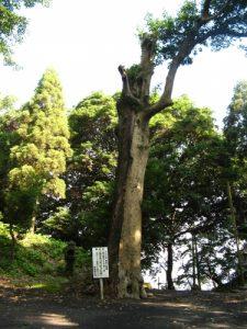 居世神社(こせじんじゃ)-ヤンモクの木