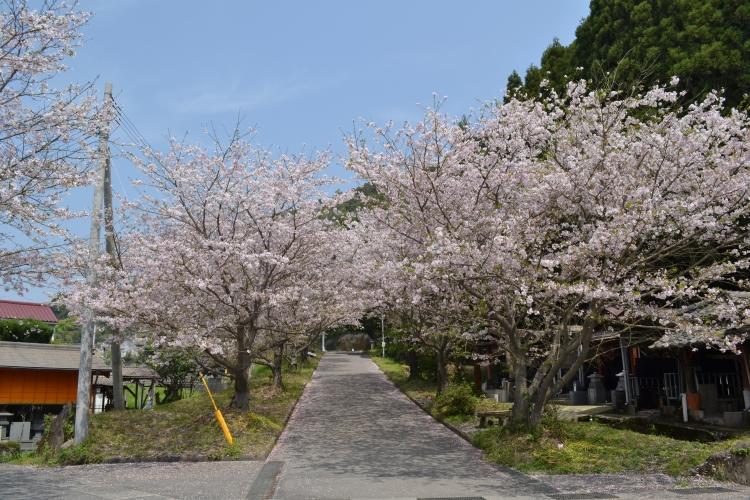 牛根境の桜並木