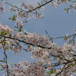 牛根境の桜並木-3