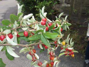 久冨木さんのお母様が庭先のぐみの枝を・・・ 太田道灌の七重八重、花は咲けどやまぶきの・・を連想しました。考えすぎ!!