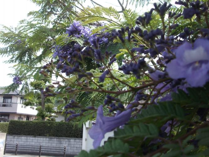 道の駅ジャカランタの花咲き始める-1