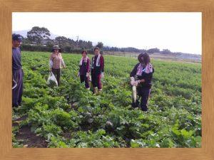 広い大根畑で御土産用の大根を収穫
