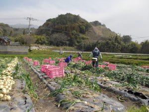 早春の垂水-新城地区玉ねぎ収穫作業