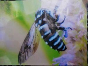 5月~10月九州は熊本とここだけ来る絶滅危惧種のハチ(名前はわかりません)