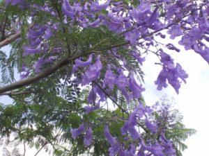 道の駅垂水ジャカランタの花が満開-2