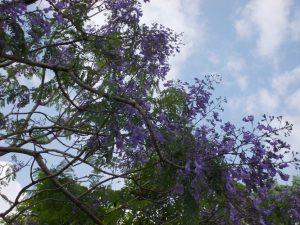 道の駅垂水ジャカランタの花が満開-3