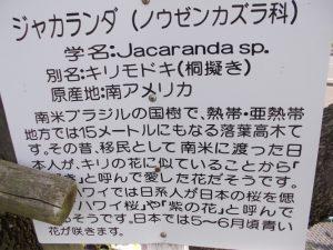 道の駅垂水ジャカランタの花が満開-4