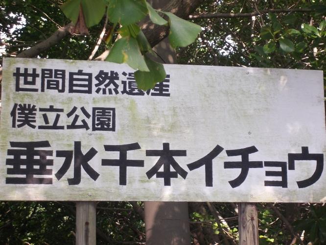 垂水千本イチョウ園情報-1