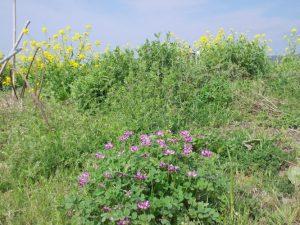 レンゲ草と菜の花はおんだんこら祭り原風景