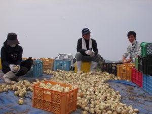 玉葱収穫最盛期