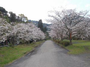 牛根境の桜、満開-1