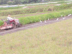 トラックタ―の後を白鷺がカエル,虫を食べに