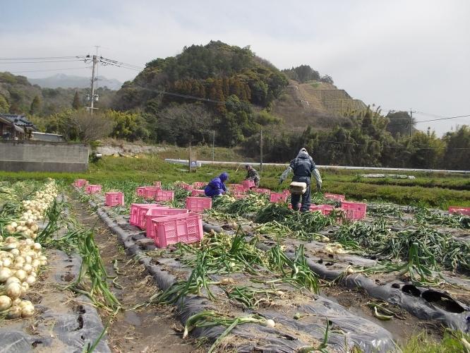 春休み故郷を訪ねて-新城玉葱収穫最盛期