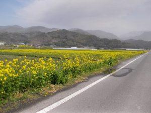 春休み故郷を訪ねて-水之上菜の花ロード