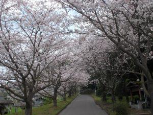 春休み故郷を訪ねて-牛根境桜並木